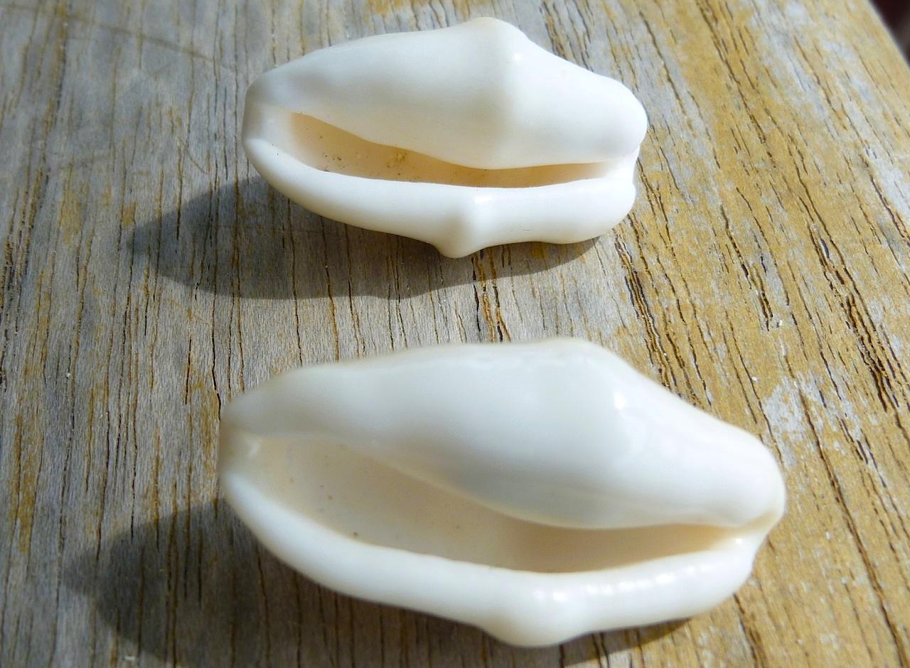 Flamingo Tongue Snail Shell, Keith Salvesen Abaco
