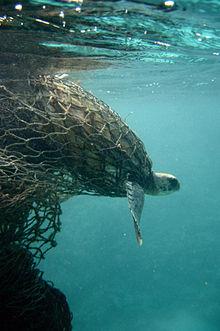 Sea turtle entangled in a ghost net