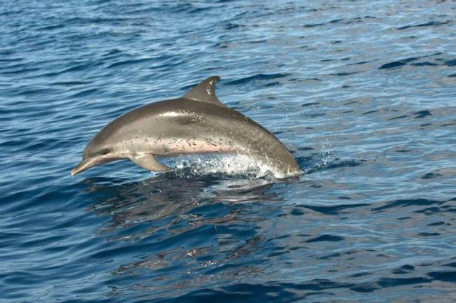 Dolphin, Abaco - BMMRO