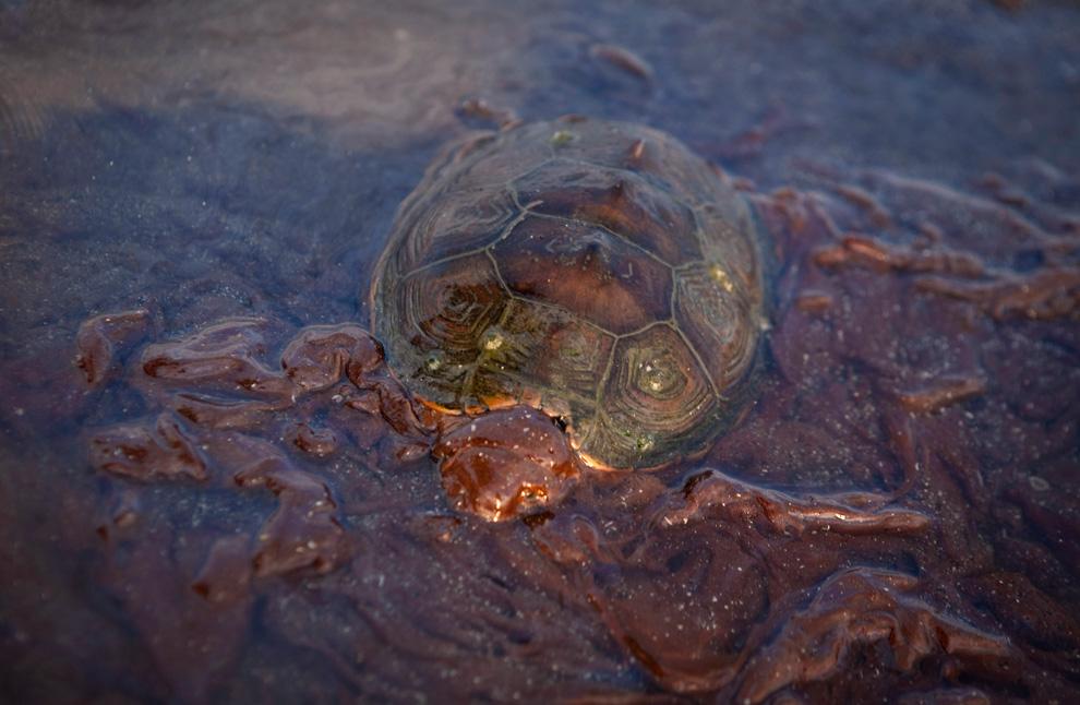 Sea Turtle / Oil Pollution Boston.com / Reuters
