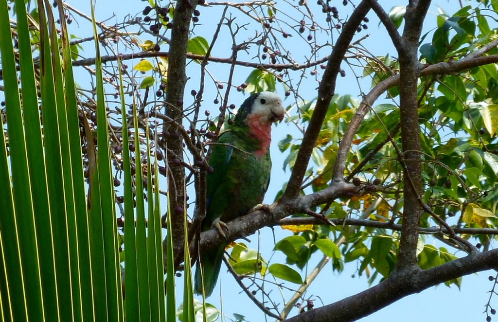 Abaco (Cuban) Parrot