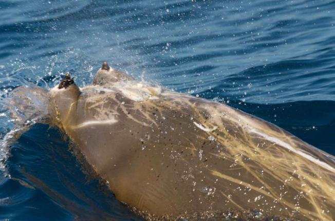 Blainville's Beaked Whale Abaco