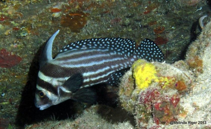 Drumfish