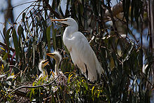 Great Egret Wikipic