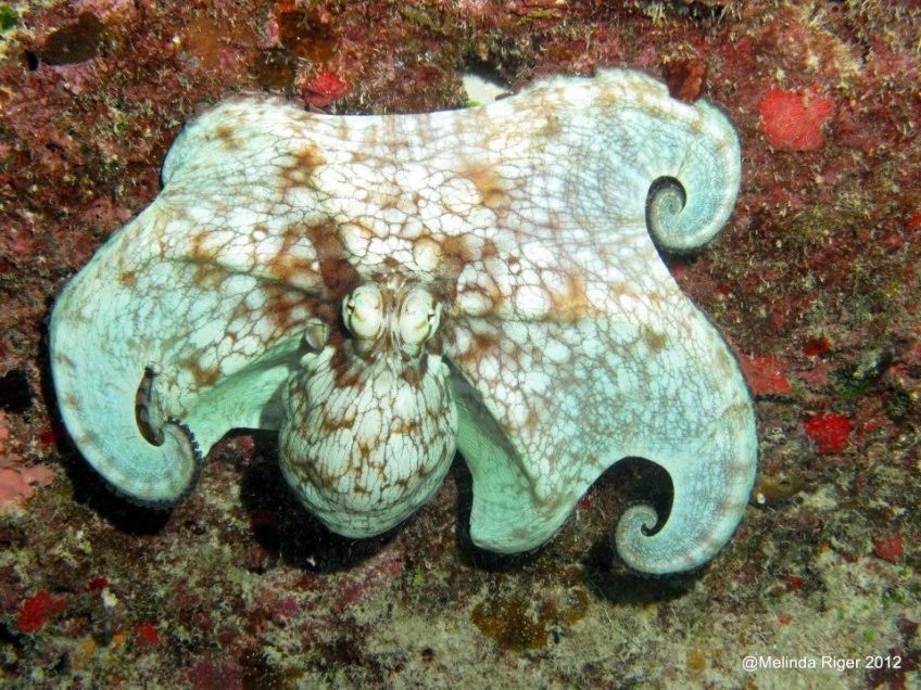 Octopus 2 ©Melinda Riger GB Scuba
