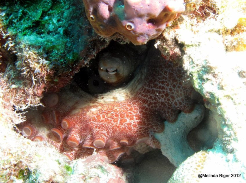 Octopus ©Melinda Riger GB Scuba