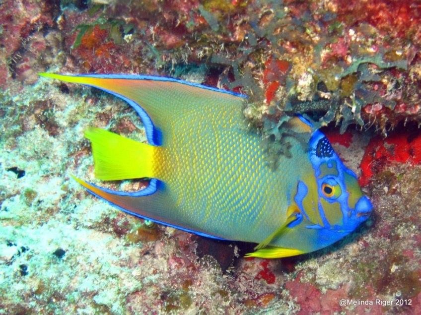 Queen Angelfish ©Melinda Riger / Grand Bahama Scuba