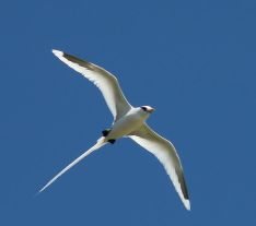 Whitetailed Tropicbird WikiPic