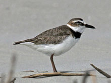 Wilson' Plover male Wikipic