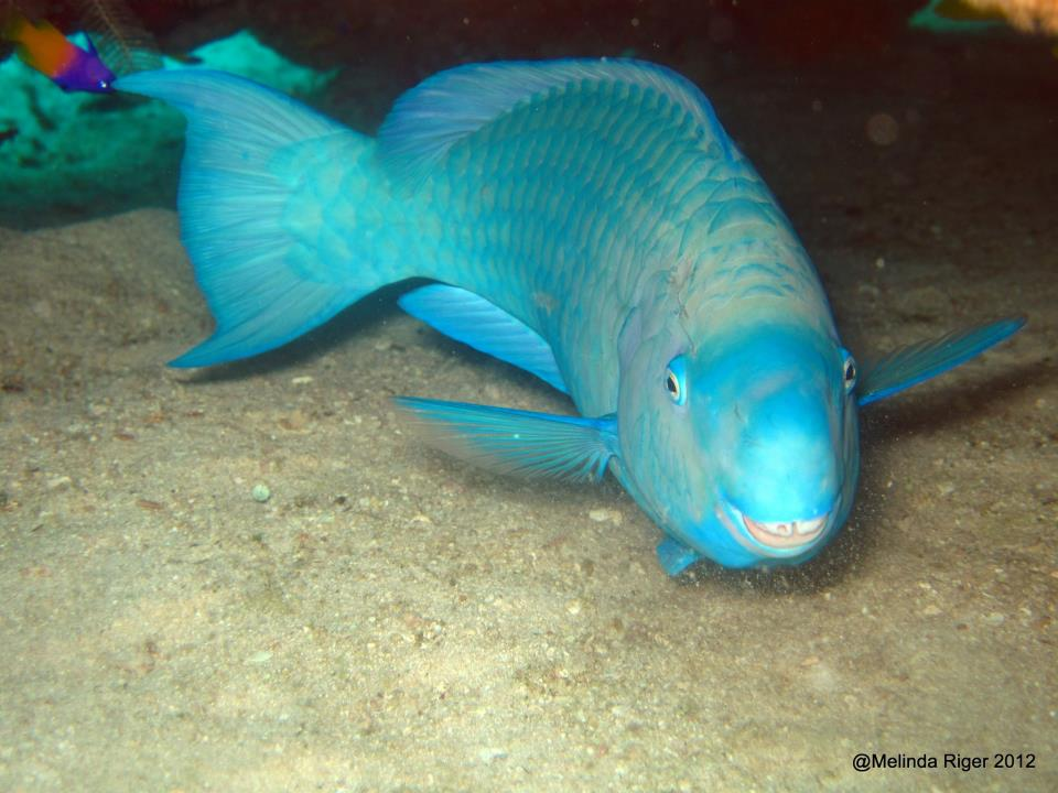 Parrotfish colourful coral characters bahamas reef fish for Blue parrot fish