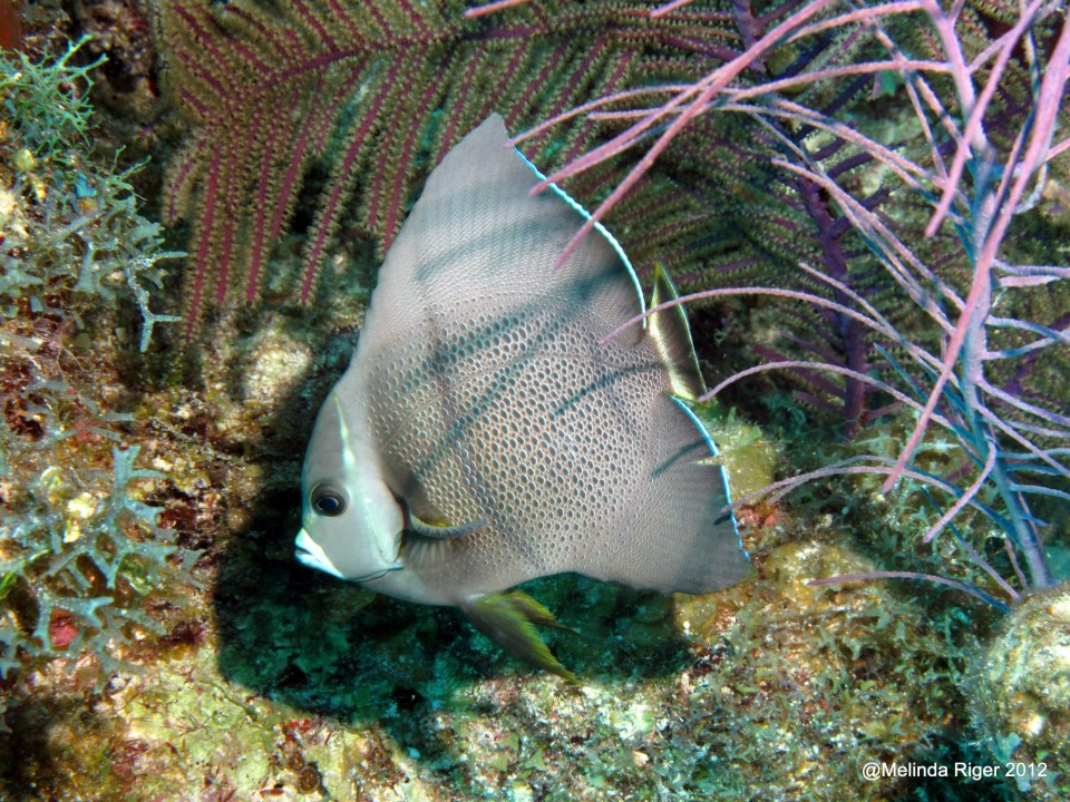 Gray Angelfish between juvenile and adult phase