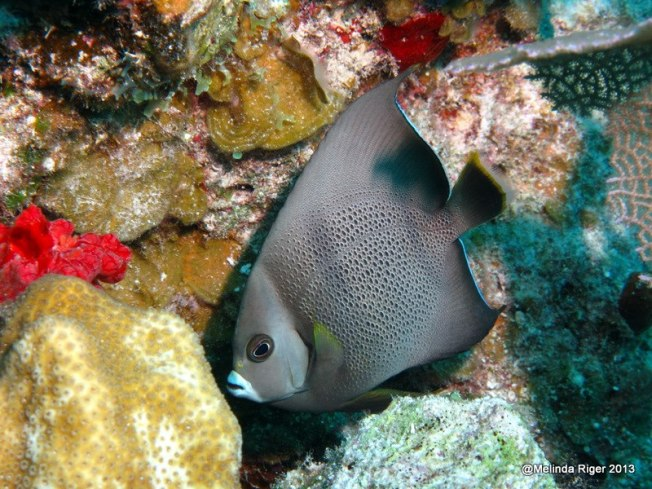 Gray Angelfish ©Melinda Riga @ BP Scuba