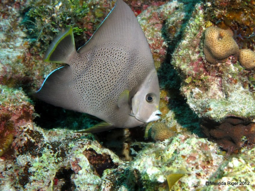 Gray Angelfish ©Melinda Riger GB Scuba