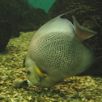 Gray_angelfish