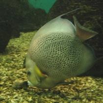Gray_angelfish