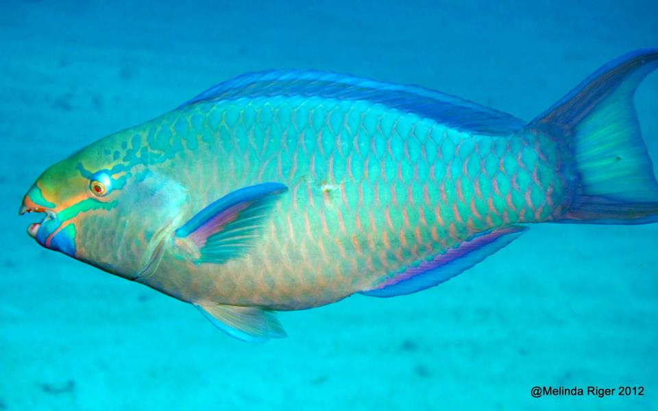 Rainbow parrotfish videos photos and facts  Scarus