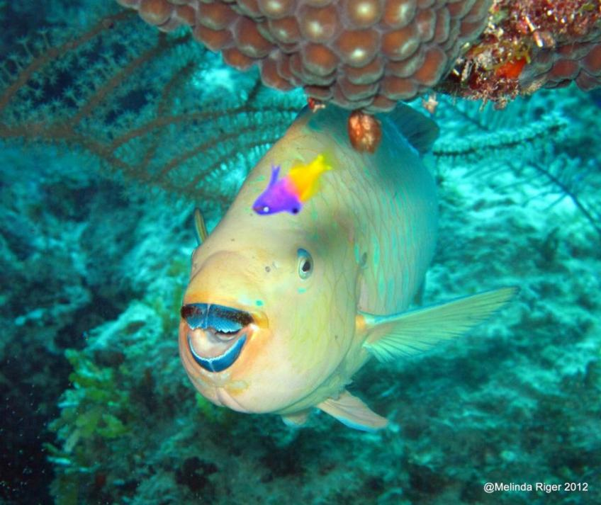 Parrotfish colourful coral characters bahamas reef fish for Rainbow parrot fish