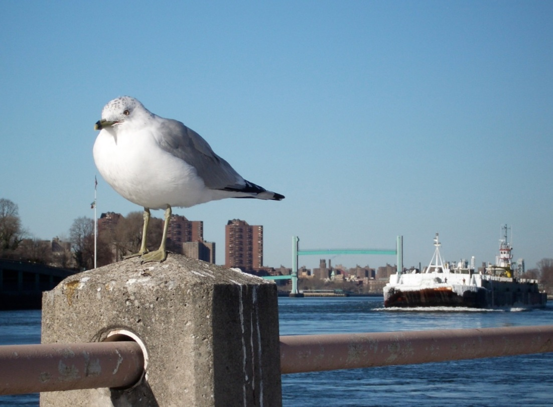 Ring-billed Gull NYC