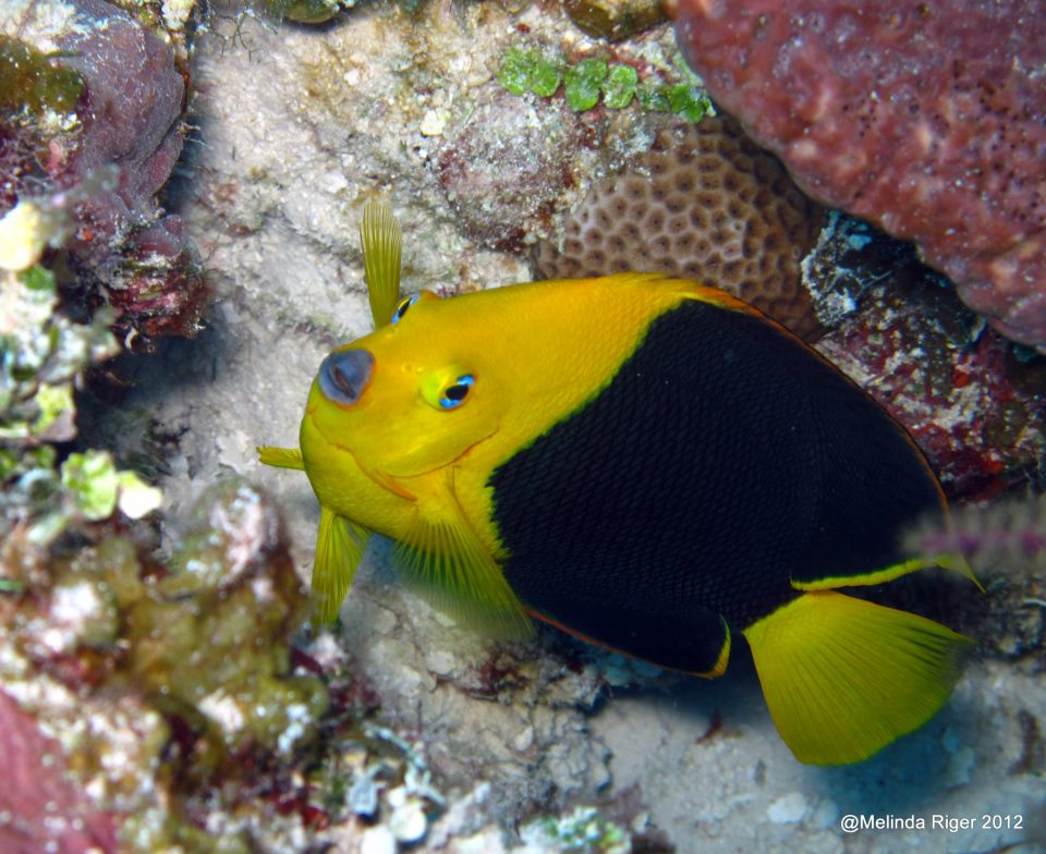 rock beauty holacanthus tricolor bahamas reef fish 5 rolling