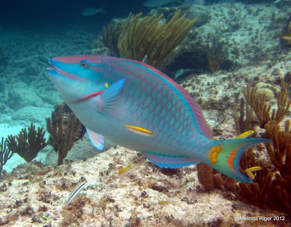 Stoplight parrotfish rolling harbour abaco for Pictures of parrot fish