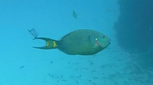 Stoplight Parrotfish ©RH