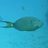 PARROTFISH: COLOURFUL CORAL CHARACTERS BAHAMAS REEF FISH (6)