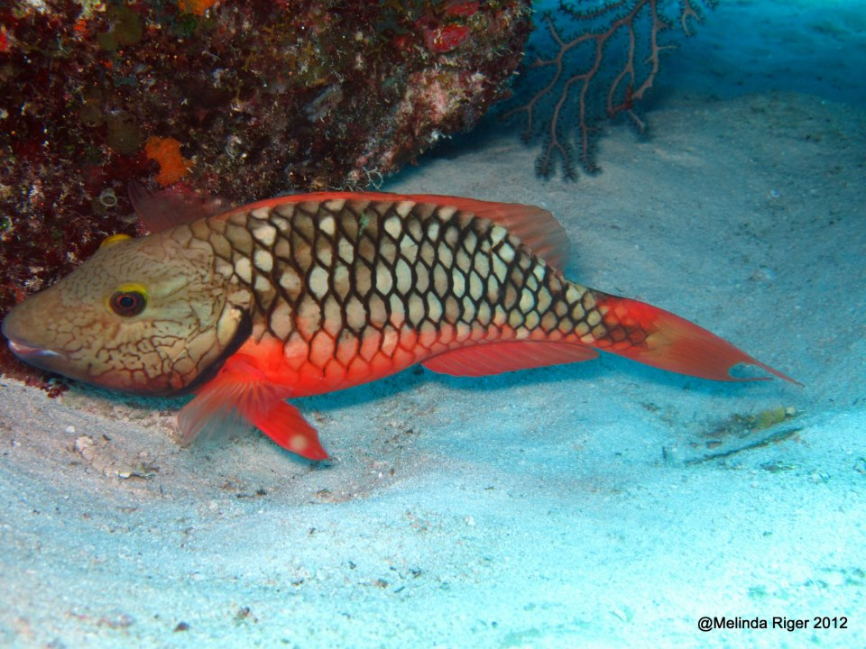 Queen parrotfish facts for Parrot fish facts