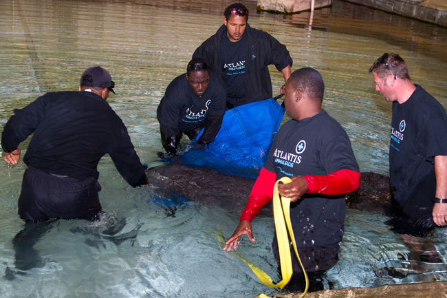 W-Georgie-the-manatee-is-placed-into-a-medical-pool-at-Dolphin-Cay