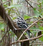Black & White Warbler (Wiki)