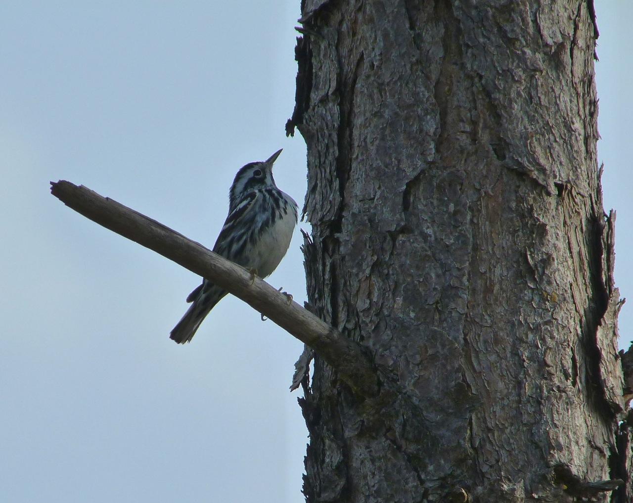 Black & White Warbler, Abaco, Bahamas 2
