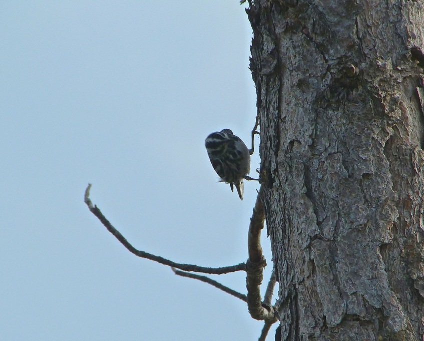 Black & White Warbler KS P1050385 - Version 2