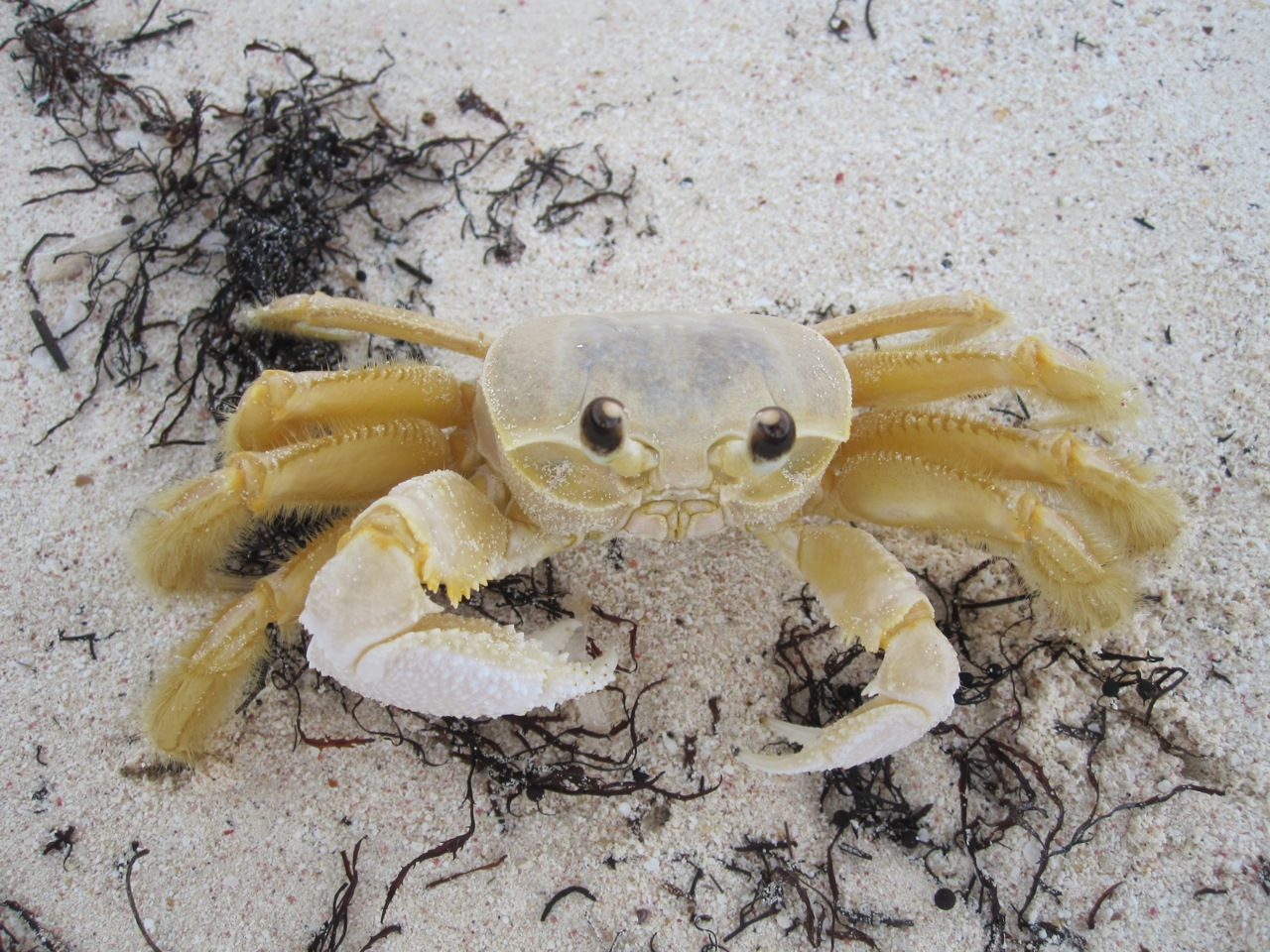 Crab, Delphi Club Beach, Abaco