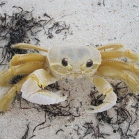 A GHOST CRAB'S DAY AT THE SEASIDE AT DELPHI, ABACO