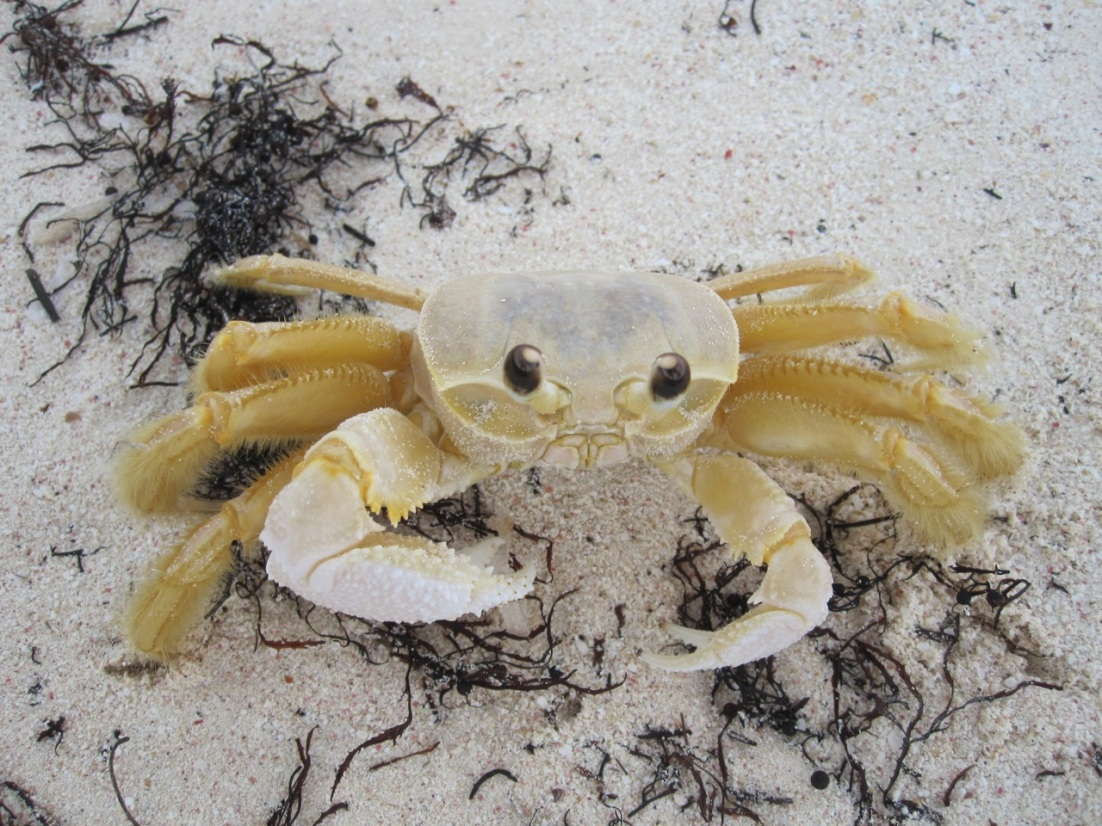 Crab, Delphi Club Beach, Abaco