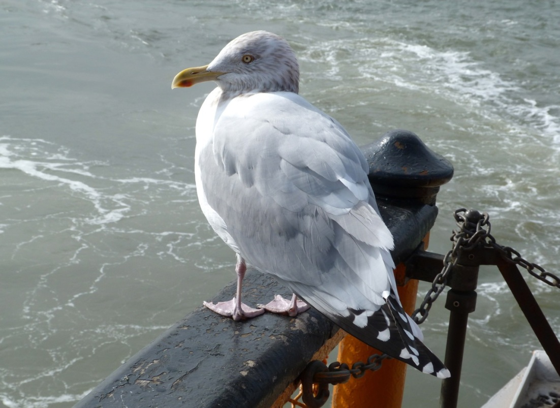 Herring Gull 2