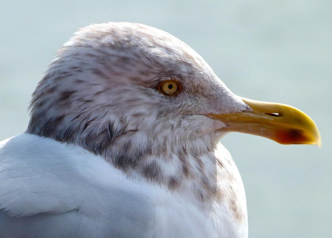 Herring Gull 5