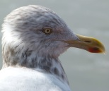 Herring Gull Header