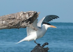ONE GOOD TERN ON THE ABACO MARLS…4