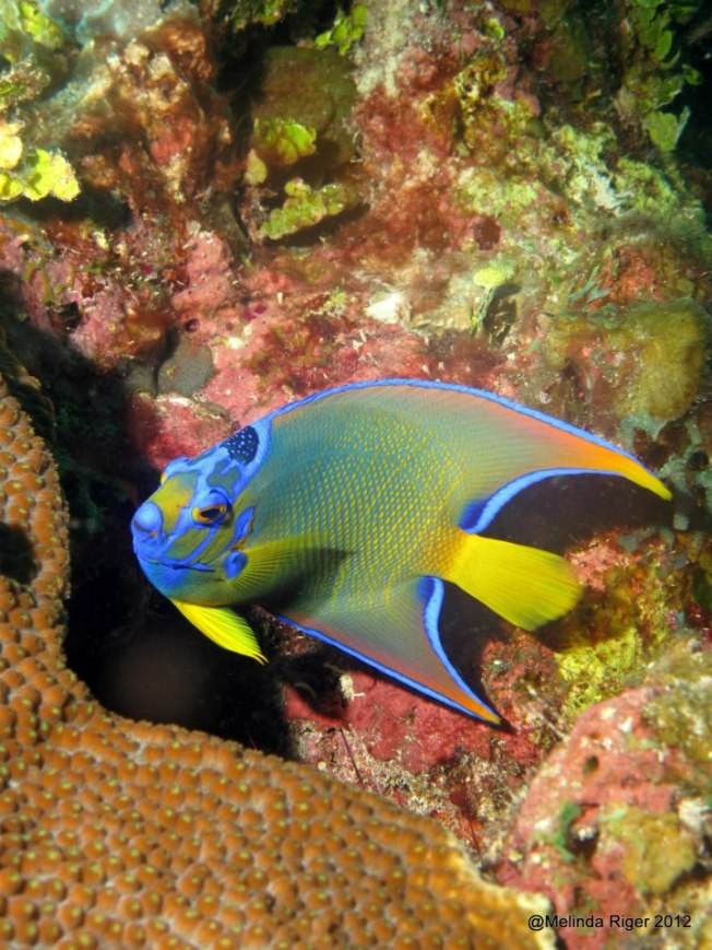 Queen Angelfish (juv) ©Melinda Riger @GBS