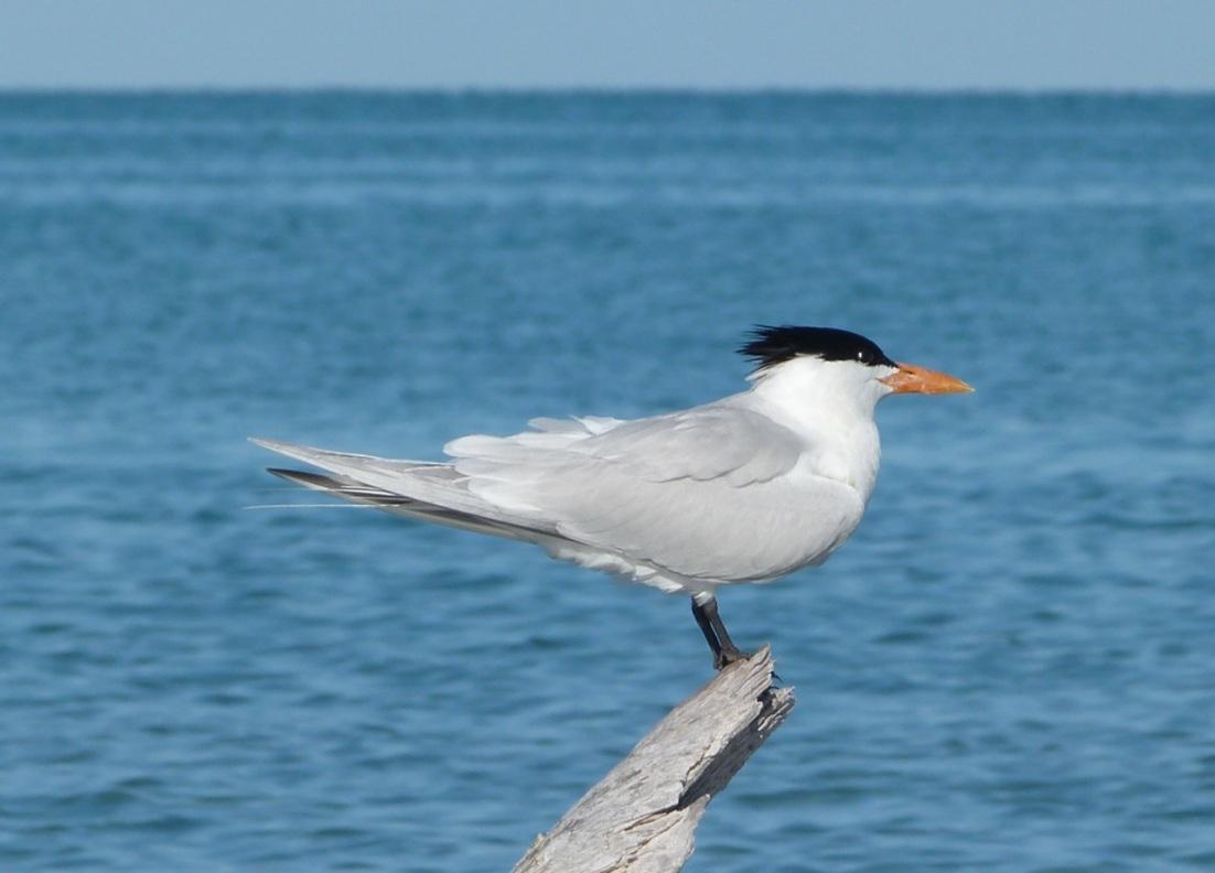 Royal Tern, Abaco, Bahamas (Marls) 1