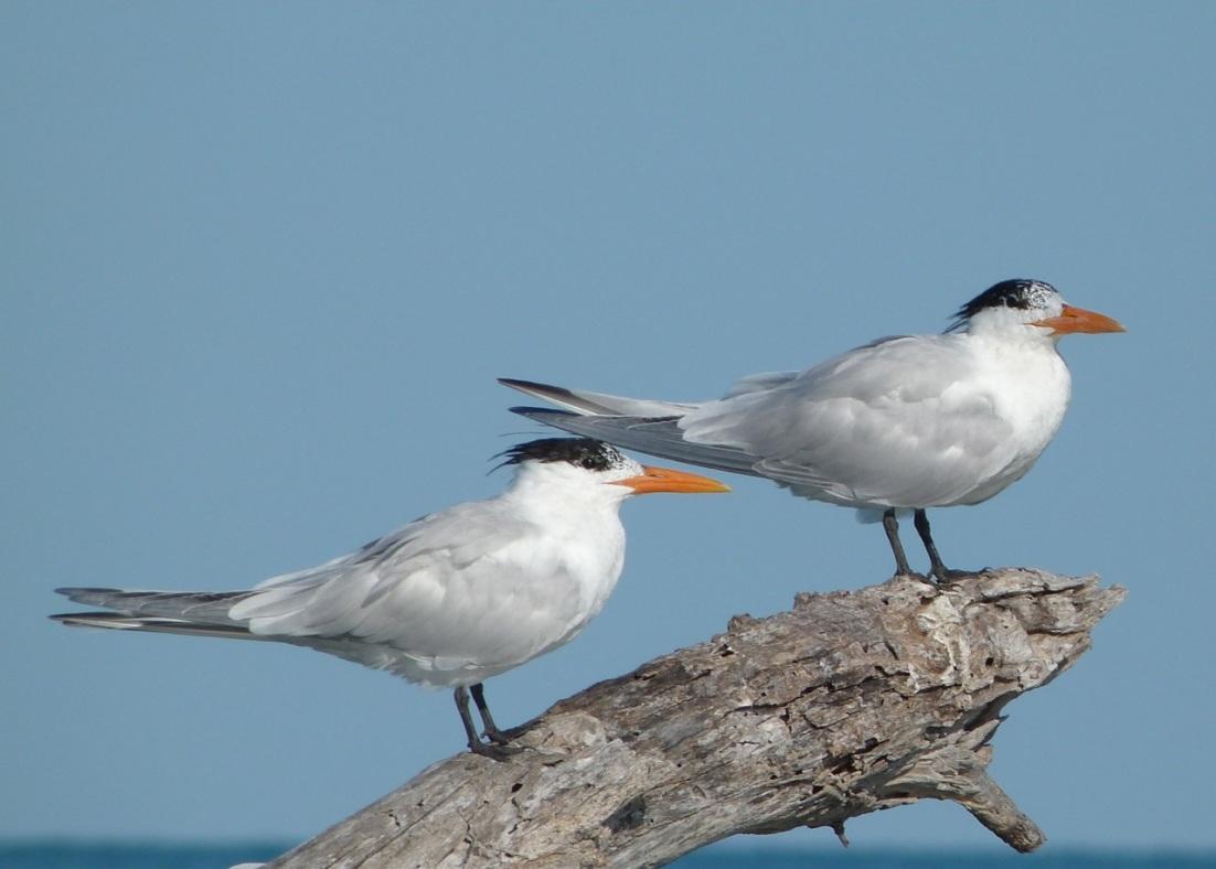 Royal Tern, Abaco, Bahamas (Marls) 2