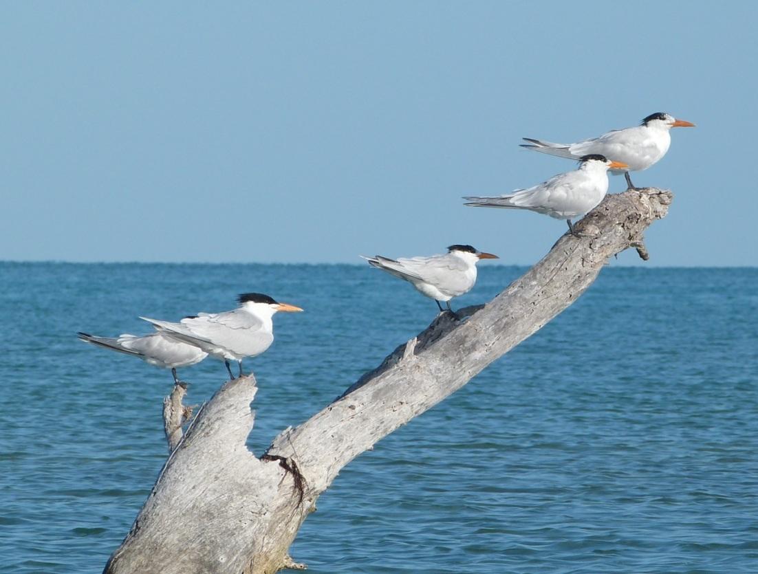 Royal Tern, Abaco, Bahamas (Marls) 3