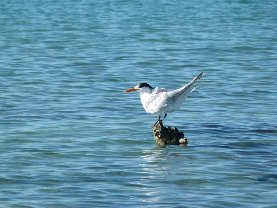 Royal Tern (Sterna maxima), Abaco Marls, Bahamas 5