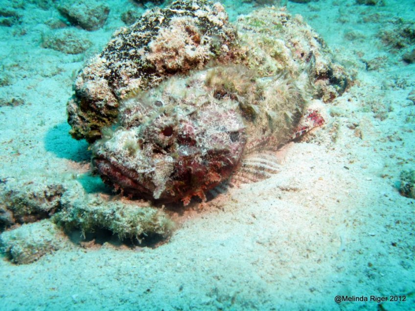 Scorpionfish camouflaged against coral ©Melinda Riger