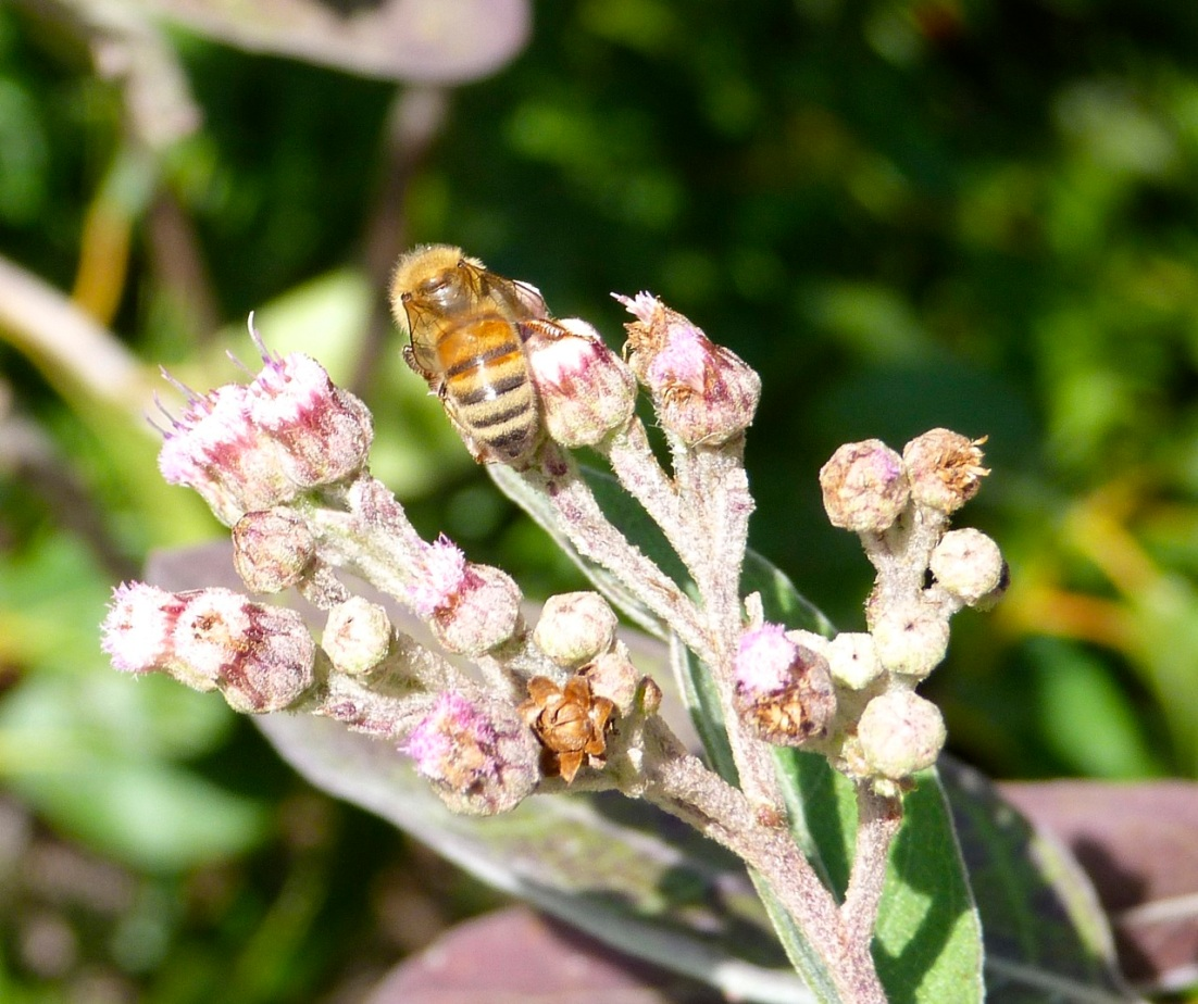Abaco bees 1