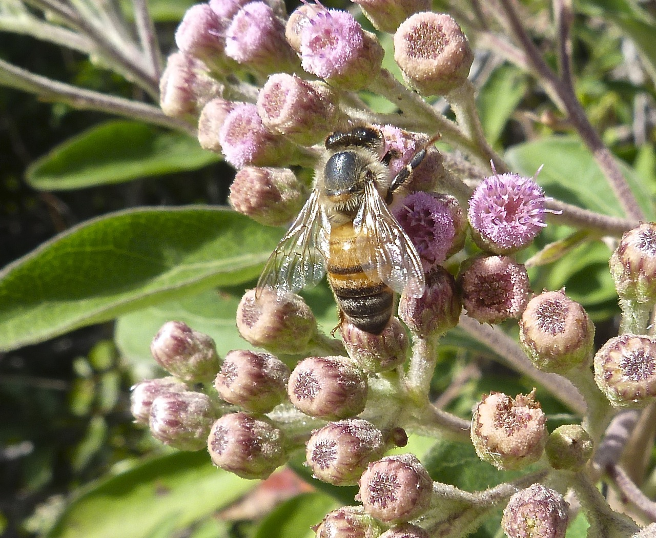 Abaco bees 2