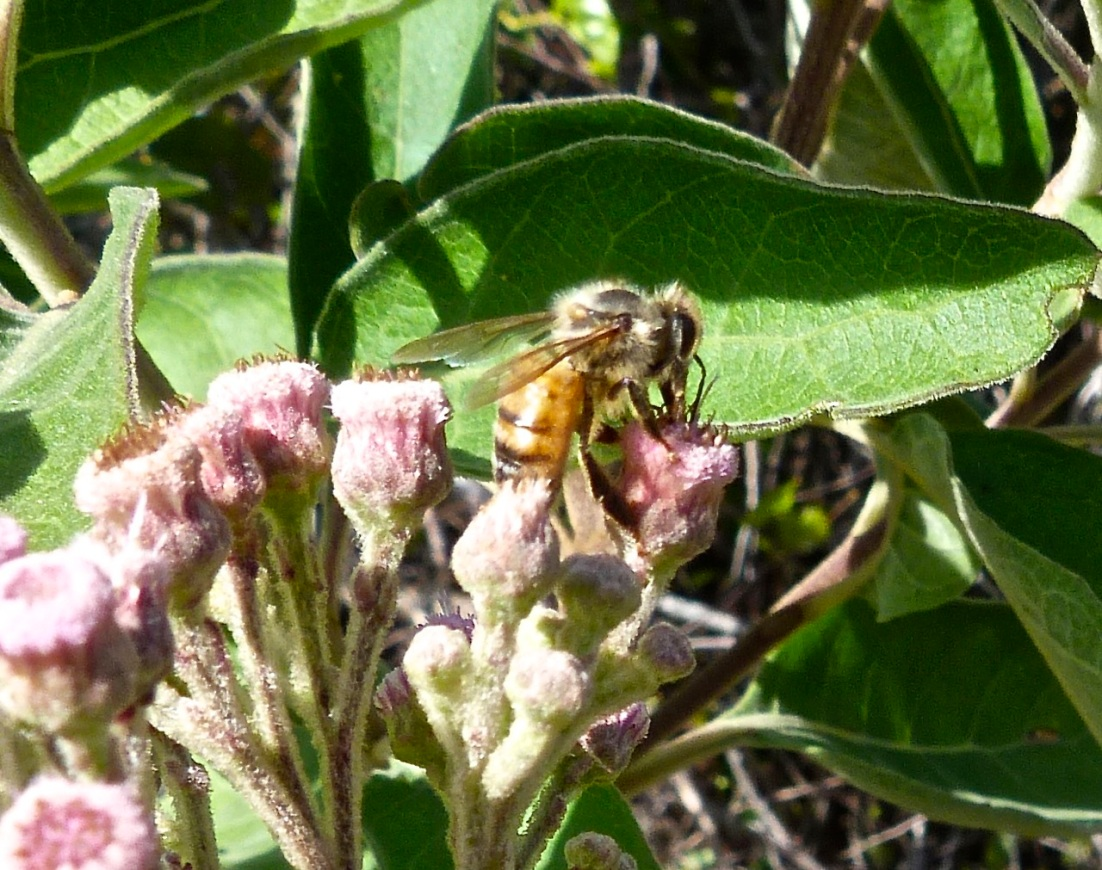 Abaco bees 3