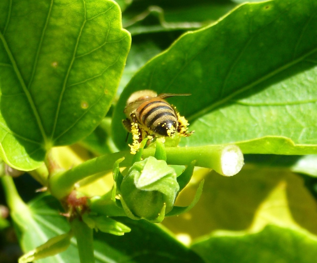 Abaco bees 5