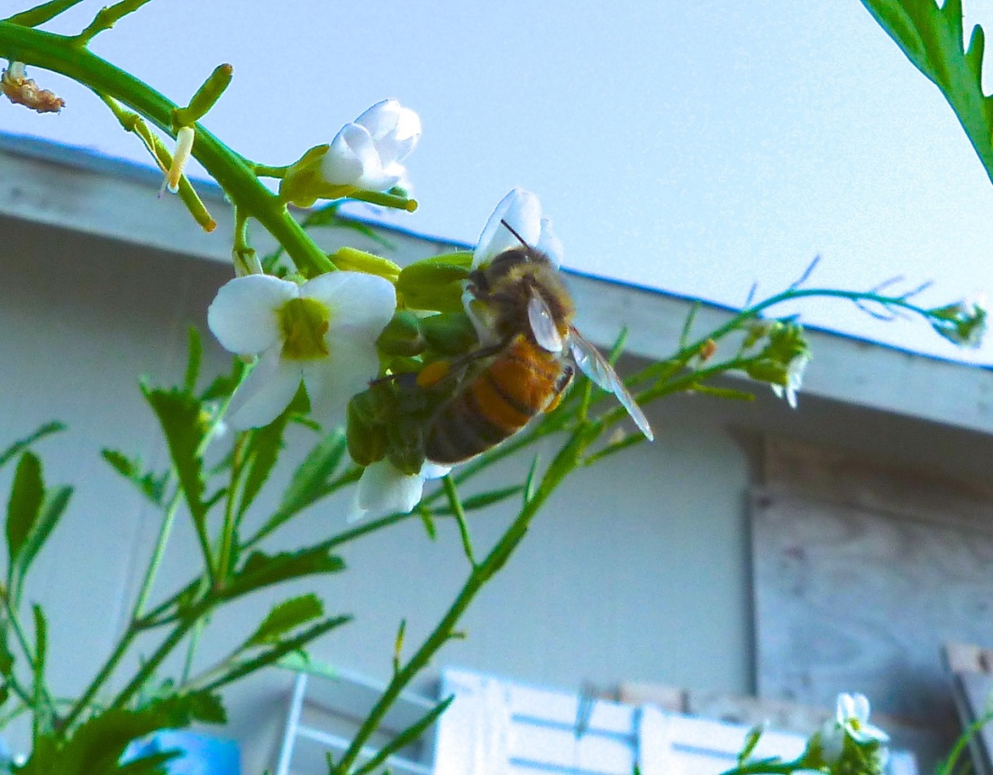Abaco bees 7