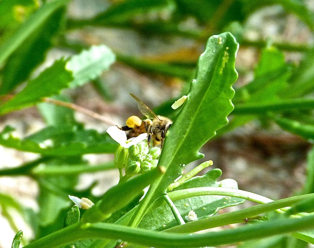 Abaco bees 8